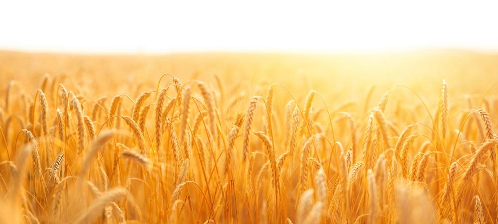 golden-banner-ripening-ears-wheat-field-sunset